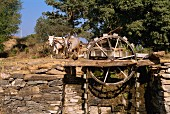 Water wheel operated by bullocks in a village near Shikar, Rajasthan state, India