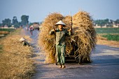 A rice farmer from Bac pulling a load of freshly harvested rice; Vietnam