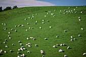 Sheep grazing on the Canterbury Plains, South Island, New Zealand