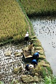 Rice farmers harvesting rice, Guizhou, China