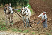 A farmer ploughing with donkeys near Olvera, Cadiz, Andalusia, Spain