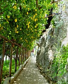 A lemon grove next to a steep path, Amalfi coast, Campania, Italy
