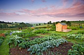 A flourishing vegetables garden with a shed in a hilly landscape, Morchard Bishop, Devon, England