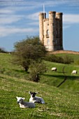 Spring lambs lying in a lush meadow at the foot of Broadway Tower, Broadway, Cotswolds, Worcestershire, England