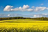 Gelb blühendes Rapsfeld im Frühling; Yorkshire, England