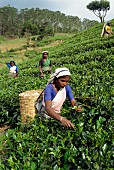 Tea being harvested in the Nuwara Eliya area, Sri Lanka, Asia