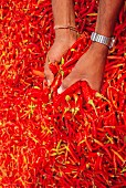 Hands holding fresh red chilli peppers, Rajasthan, India