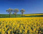 A flowering yellow field of oilseed rape and blossoming fruit trees, Baden Wurttemberg, Germany