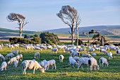 Sheep grazing on the green meadows of the Catlins; South Island, New Zealand