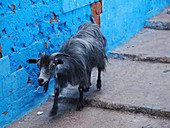 A goat on a flight of steps in the Medina of Larache, Morocco