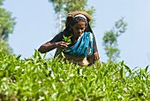 A woman picking tea leaves, Vythiri, Wayanard district, Kerala, India, Asia