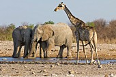 A giraffe and elephants at the Dolomite watering hole in the west of the Etosha National Park, Namibia, Africa