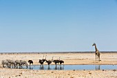 Zebras, ostriches and giraffe at a watering hole in the Etosha National Park, Namibia
