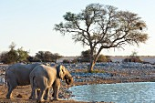 Elephants at the Okaukuejo watering hole in the Etosha National Park, Namibia