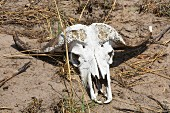 A skull of a buffalo in the Bwabwata National Park, Namibia