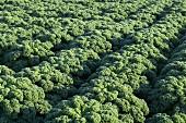 A field of kale (detail)