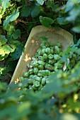 Hops being harvested - Wasserschloss Mellenthin on the island of Usedom, Mecklenburg-Vorpommern