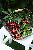 Sour cherries with leaves in a wire basket