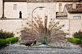 A peacock showing off his feathers in front of the Antica Corte Pallavicina, Emilia-Romagna