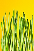 Wheatgrass against a yellow background
