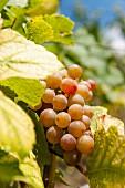A white wine vine at the Karl Friedrich Aust vineyard in the Radebeuler Oberlössnitz region, Saxony
