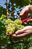 White wine vines being cut at the Karl Friedrich Aust vineyard in the Radebeuler Oberlössnitz, Saxony