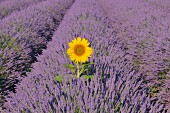 A bright sunflower in a sea of purple flowers, Provence, France