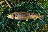 Farm-bred trout in a net