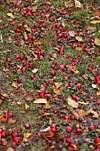 Windfall crab apples amongst autumn leaves