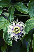 A passionfruit flower