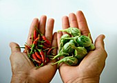 Hands holding Thai aubergines and red chilli peppers