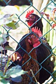 Hens in a garden behind a chain-link fence