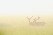 Fallow deer in a field in the morning mist