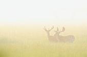 Fallow deer in a field in the morning mist