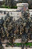 Bladderwrack seaweed hanging on wooden planks