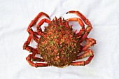 A spider crab from Galicia (seen from above)