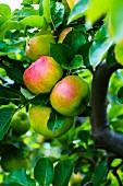 Bramley apples in early autumn on a tree (England)