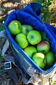 Freshly picked Bramley apples in early autumn (England)