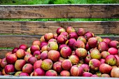 Freshly picked Cox apples in crates