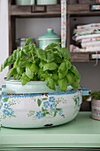 Basil in a vintage enamel pot on a kitchen dresser