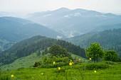 Viel grün am Le Petit Ballon, Vogesen, Munstertal, Elsass, Frankreich