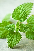 Fresh stinging nettles (close-up)