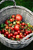 Freshly picked tomatoes in a basket