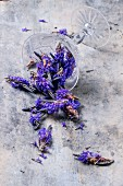 Lavender flowers falling from an overturned glass