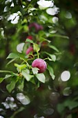 Jam is made from the cherry plums that grow in Georg Schwenk's garden (Augustus-Rex Brände in Dresden)
