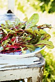 Beetroot leaves in a bowl on a wooden chair in a garden