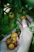 A hand picking small yellow tomatoes