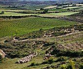 Shepherd and sheep by vineyard. Laguardia, Alava, Spain. [Rioja Alavesa]