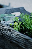 Small celery plants in a wicker tray