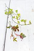 Zweige von zwei verschiedenen Rosenarten im Frühjahr auf Holz mit abblätternder weisser Farbe